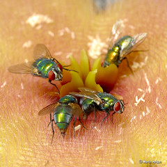 Blow flies on Stapelia grandiflora flower (Martin_Heigan) Tags: camera flower detail macro nature digital insect southafrica fly succulent eyes nikon dof close martin bokeh blow study corona photograph micro flies eggs d200 grandiflora carrion dslr apocynaceae maggots metalic hairs diptera karoo stapelia vlieg pollination asclepiadaceae brommer sb800 suidafrika pollinator 60mmf28micro asclepiad stapeliad carion nikonstunninggallery heigan calitzdorp macrolife mhsetinsects mhsetstapeliads mhsetflowers 4january2009 flypollinated flypollination