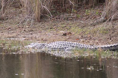 Gator 6685