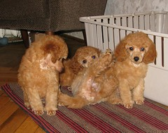 three (my2pood) Tags: cute love smile puppy miniature puppies dwarf small adorable kittens poodle apricot puppys lovepuppysandkittens