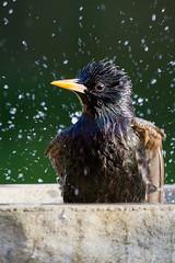 Punk Starling (naturshoot) Tags: water punk starling bathing vulgaris sturnus