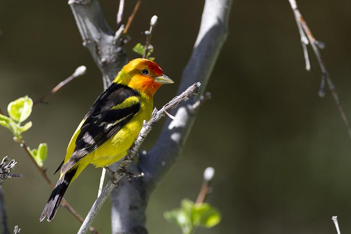 060711_bird_westernTananger