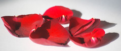 I'll leave my shadow, To fall behind, (brynmeillion - JAN) Tags: red roses flower rose wales shadows cymru explore valentines duffy rosepetals onwhite mercy flowerpetals coch blodyn blueribbonwinner ceredigon rhosyn rockferry supershot mywinner abigfave anawesomeshot superbmasterpiece rhosyncoch patalau