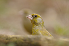 Greenfinch Peek-a-boo (m. geven) Tags: man male nikon headshot greenfinch d300 naturesfinest groenling chlorischloris specanimal 200400vr anawesomeshot impressedbeauty kopportret vinkachtige