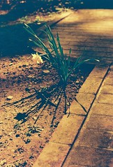 Narcissus futurismus (Vic Acid) Tags: shadow flower film 35mm iso200 spring pentax k1000 kodak alt daffodil angular narcissus futurist ei100 redscale 50mm20