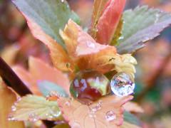 More raindrops. (stormlover2007) Tags: new macro nature leaves raindrops naturesfinest superbmasterpiece diamondclassphotographer flickrdiamond brillianteyejewel
