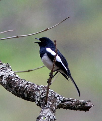 oriental magpie robin singing k gudi 170308