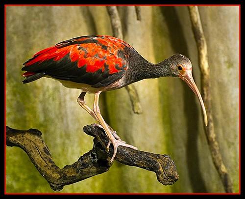 Scarlet Ibis-Juvenile