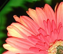 Saludos! Feliz Cinco de Mayo! (Time for a Change, Helen) Tags: red orange flower green yellow interestingness blossom explore gerbera daisy bloom cincodemayo gerberdaisy explored flowerotica fantasticflower impressedbeauty inandoutofexplore goldstaraward excellentsflowers explorewinnersoftheworld mimamorflowers awesomeblossoms