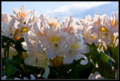 Rhododendron (Querulant) Tags: flower garden spring rhododendron blume strauch frhling frhling