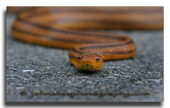 Yellow Rat Snake (John Elias Photography) Tags: park yellow rat state snake myakka