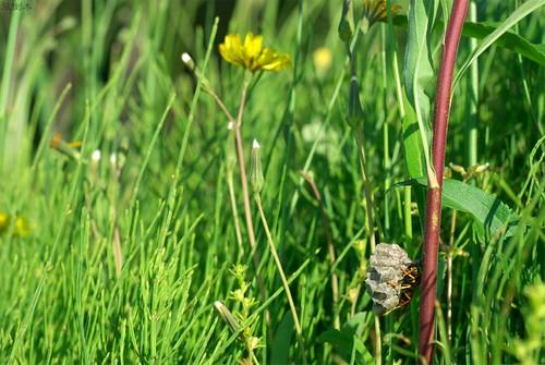 20080513フタモンアシナガバチ1