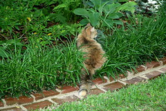 Visiting the Garden Tour (Pandorea...) Tags: cat garden brinker