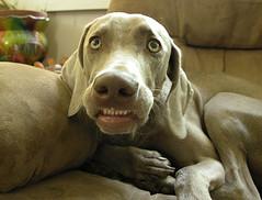 comedian (saikiishiki) Tags: portrait dog chien funnyface silly cute love smile face cheese grey cozy hilarious interesting eyes chair funny expression teeth ghost gray hound hond perro hund weimaraner kawaii comedian goof entertaining ♥ perra inu omoshiroi weim mukha makesmelaugh bestgirl vorstehhund 20f thelittledoglaughed waimarana waimarana~ saikiishiki