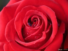 Love you  (Dave :-) (on and off)) Tags: red flower rain rose closeup dave drops lovely loveyou loveyoutoo goldstaraward