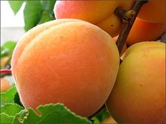 Ripe Blenheim Apricot