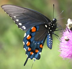 Pipevine Swallowtail (DrPhotoMoto) Tags: blue orange white black butterfly nc purple thistle side richmondcounty ventral pipevineswallowtail battusphilenor 6cm wonderfulworldofmacro 100commentgroup beautifulmonsters 37moto
