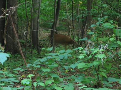 Blurry white tailed deer