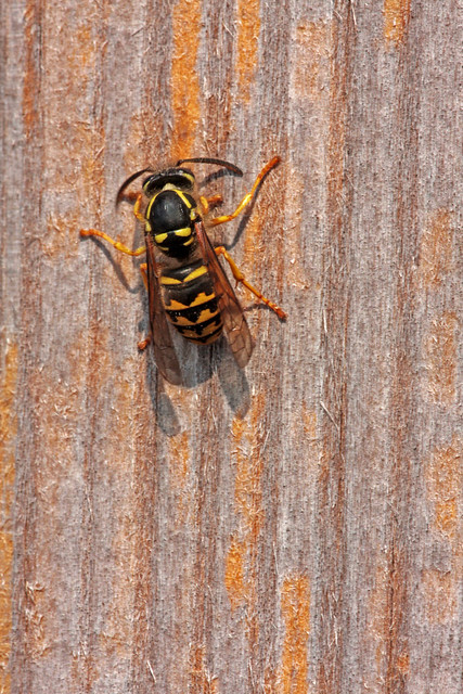 Common Aerial Yellowjacket (Dolichovespula arenaria) female Worker