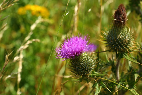 Scottish national flower: The Thistle