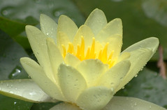 A bit of Rain for the Flower (Sue Sweet) Tags: m missouri wow awesome photoskillz nature excapturemacro niksond40 altruisticphotos sweet franklincountymissouriphotographer awesomeblossoms fun flowerscolors