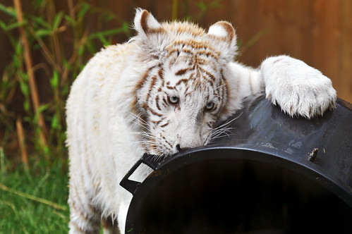 Playing white tiger cub by Tambako the Jaguar.