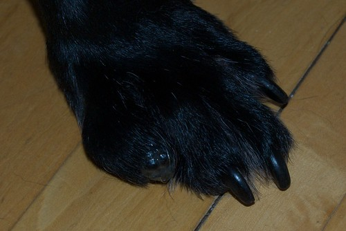 Canine Toe Cancer