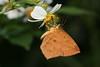 T08-08-24-P0529 (twmoth) Tags: moth taiwan 蛾 埔里 錨紋蛾科 callidulidae 隱錨紋蛾
