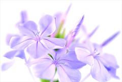 Furled (lucyd*) Tags: flowers lavender whitebackground highkey onwhite plumbago whiteground unfurled furled diamondclassphotographer idontlikebordersbutsimple12pixelswilldo