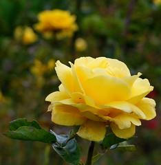 Yellow Rose (gypsie2 ~ On/Off) Tags: friends flower macro rose yellow flowerotica golddragon flickrdiamond macromarvels theperfectphotographer natureselegantshots s100fs wonderfulworldofflowers mimamorflowers 100commentgroup fotofanaticus