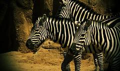 African Animals @ Bioparc Valencia