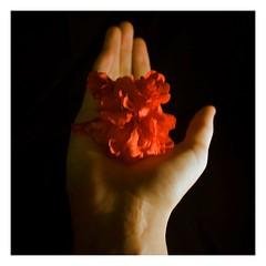 [day 28] {thing 2} (cavale) Tags: red selfportrait flower me self hand blackground wrist 365 scar redflower cavale ireallywishflickrdidntsuckallthecoloroutofmypictureswheniuploadedthem