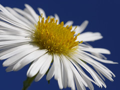 In the Sky (Britta's photo world) Tags: blue sky white flower green sunshine britta naturesfinest 60mmf28dmicro blueribbonwinner niermeyer bej michelmasdaisy abigfave theunforgettablepictures platinumheartaward macromarvels theperfectphotographer macroflowerlovers superbmacroflowers gemsofnature rubyphotographer mimamorflowers qualitypixels