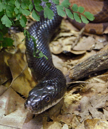 Saint Louis Zoological Garden, in Saint Louis, Missouri, USA - snake