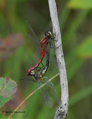 Mating Dragonflies (Nature View) Tags: nature insect dragonfly maine d200 odenata sgaumont