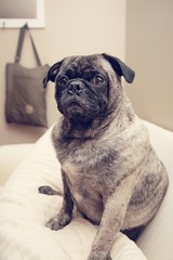 (Reagan Powell) Tags: canon pug livingroom couch 5d brindle chito imasucker 24105mm andheknowsit 580exii