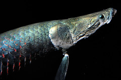 Pirarucu (shinpei.ogita) Tags: fish arapaima gigas pirarucu