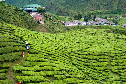Tea Plantation (by P3rSeUs)