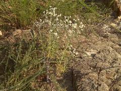 White flowers (Clevergrrl) Tags: georgia mud stuck augusta quicksand clarkshill thurmondlake