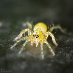 Arachtober 8th (jciv) Tags: macro cute halloween smile face yellow spider arachnid smiley tiny raynox araneidae 430ex explore14 ghostspider arachtober arachtober08 file:name=img4857 explore:num=40