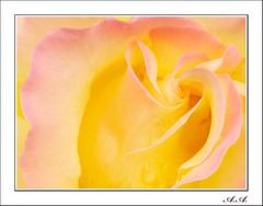 Resplandece (olyverde2007) Tags: naturaleza flores flower macro nature beauty rose yellow closeup flor rosa olympus drop e3 gota amarilla belleza flore uro 50mmmacroed
