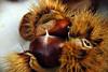 l'autunno e i suoi frutti (francesca sara) Tags: autumn party fall october wine valle redwine festa autunno challenge sagra vino emiliaromagna romagna ottobre riccio castagna vinorosso concorso e45 cagnina sarsina colorphotoaward sagradellacastagna ranchio