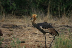 Female Crested Crane