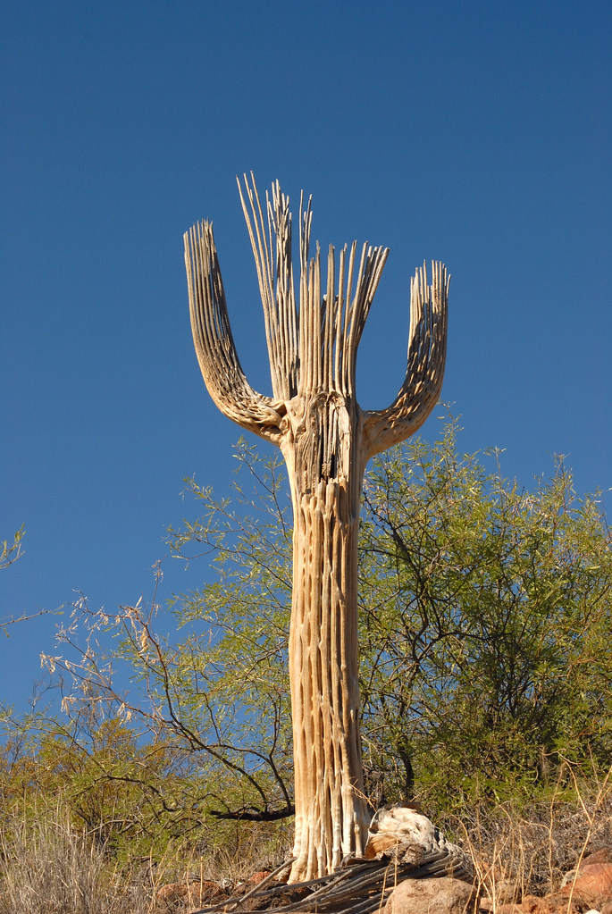 saguaro cactus research paper Senor saguaro is a tall cactus that is outside of archie's home it is described as a 30 foot giant that towered over the toolshed in the back of his [archie's] home the towering figure .