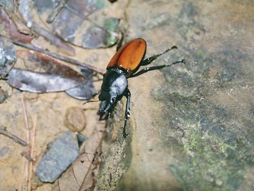 你拍攝的 紅圓翅鍬形蟲。