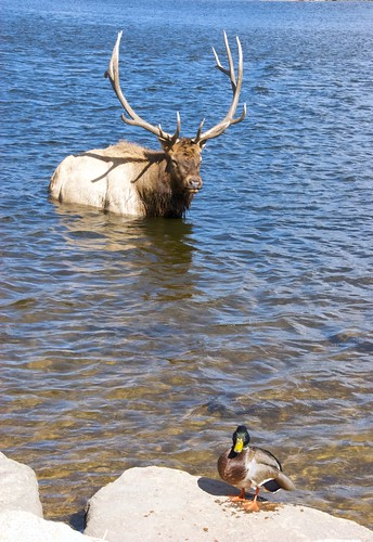 Elk and Friend