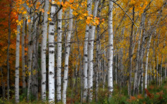 Autumn birch (James Jordan) Tags: park county door autumn trees fall colors leaves wisconsin landscape state 100v10f birch peninsula d60 naturesfinest aplusphoto