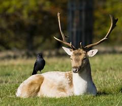 Buck-a-Crow