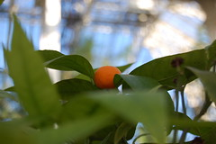 Apparently they're not the only fruit (Clairance) Tags: orange plant tree kew fruit bokeh greenhouse citrus glasshouse royalbotanicalgardens d40