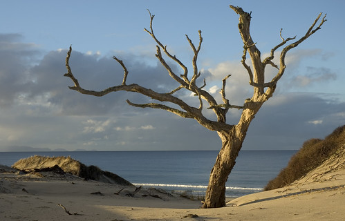 Pakari Tree