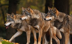 The Three Wolfs (antmachinator) Tags: zoo wolf lobo loup tierpark lupus animalplanet lupo